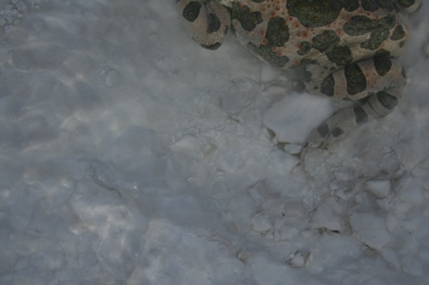 Frog in Pamukkale